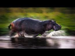 fast like hippo